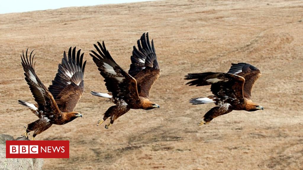 103244516 mediaitem103244515 - Golden eagle genome study 'a conservation game changer'
