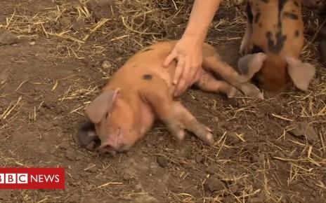 103484635 p06ljkrp - Starvation fears after piglets stolen from London farm