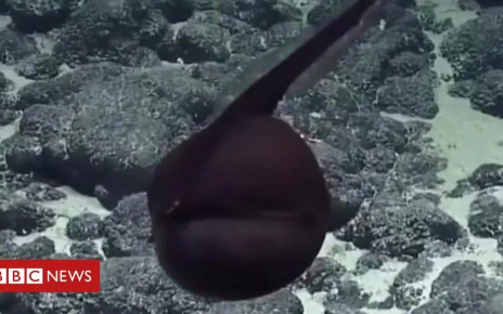 103525624 p06lsxfh - Gulper eel caught on camera in Hawaii