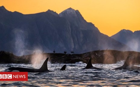 103609509 p06mbj7y - Pollution threatens future of killer whales