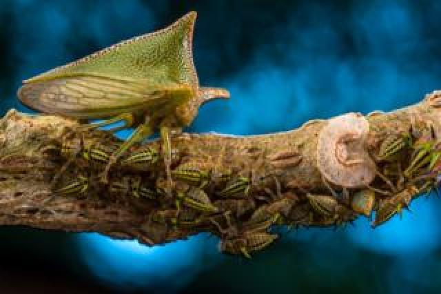 Alchisme treehopper and her nymphs