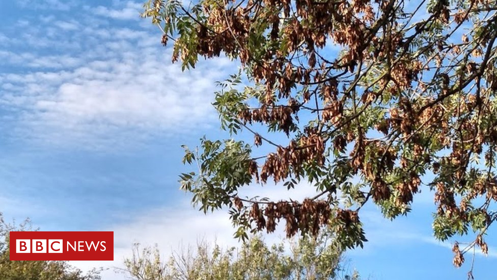 104072657 ashdieback 2 - Ash dieback: Seed orchards could help species recover sooner