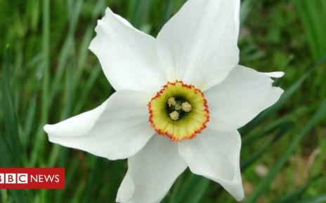104155445 rhsrodneylay - Revealed: The secret of the poet's daffodil