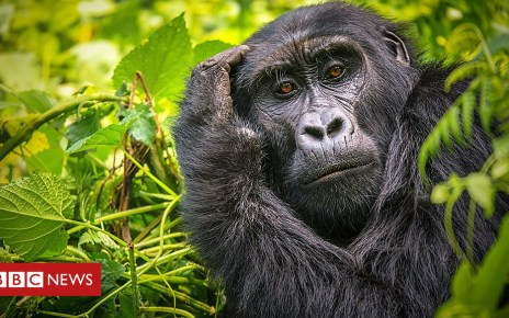 104353747 p06rwdfg - Tech to give new insight into gorillas and other news
