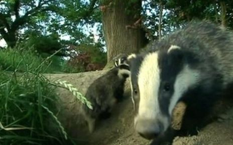 78668993 74983379 - Badger culling has 'modest' effect in cutting cattle TB