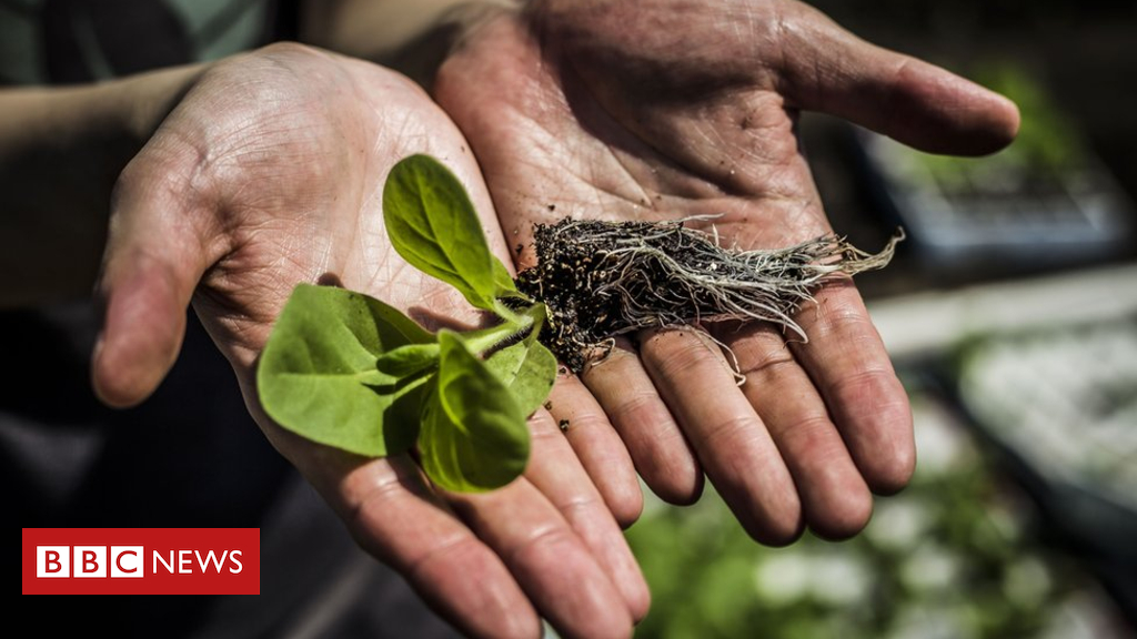 105054166 ag2 - Genetically modified 'shortcut' boosts plant growth by 40%