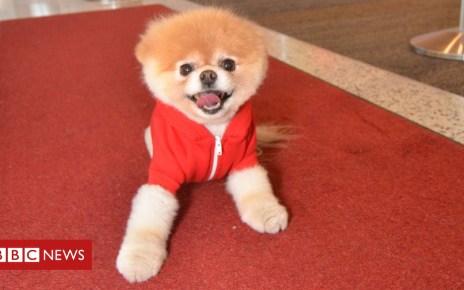 105247783 e5718d3b 172c 40d4 b6d6 6e4040221049 - Boo the Pomeranian dog dies 'from a broken heart'