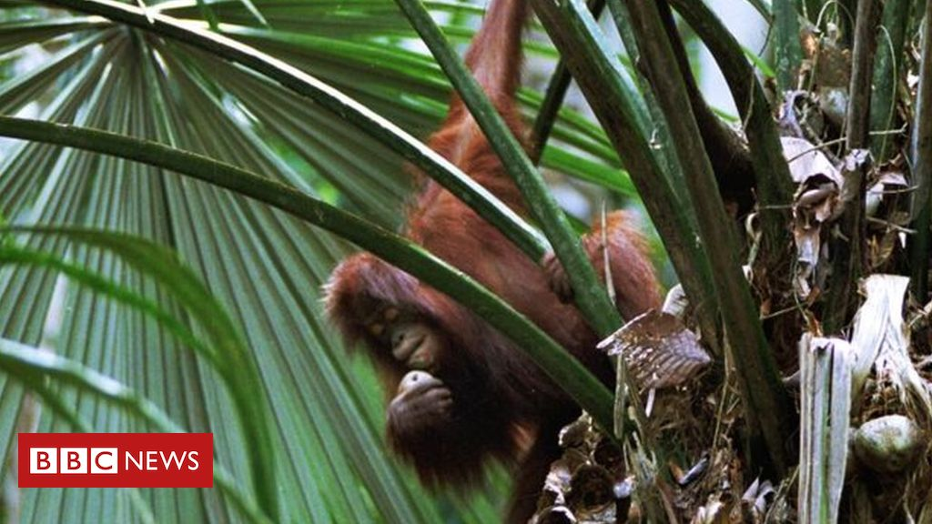 105538773 hm7p07nn - Climate change: 'Future proofing' forests to protect orangutans