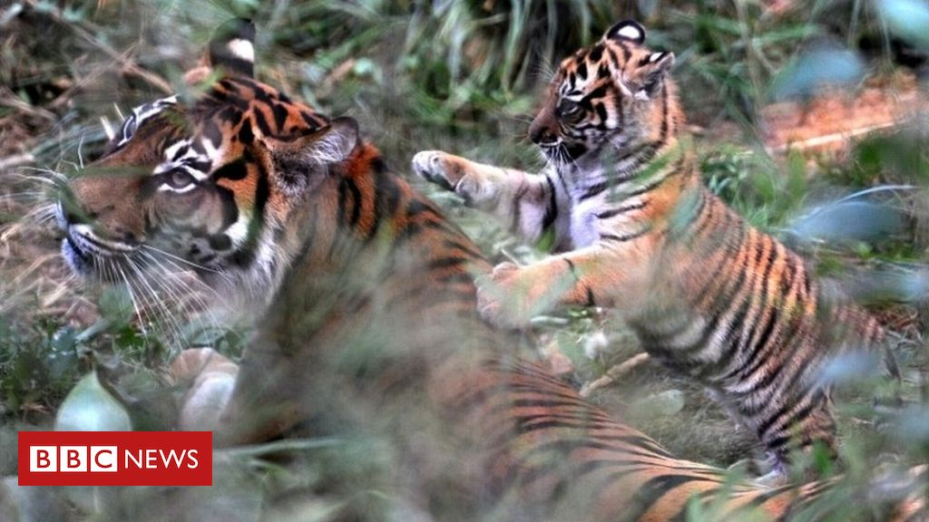 105585889 mediaitem105585888 - London Zoo 'was well aware' of tiger death risk