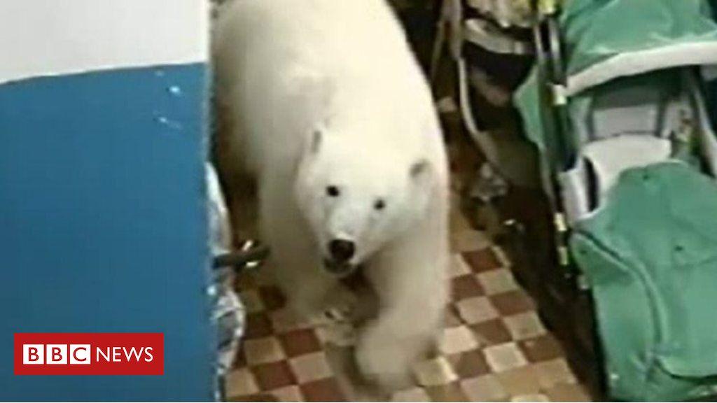 105609336 p070lzyf - Why polar bears are invading human settlements