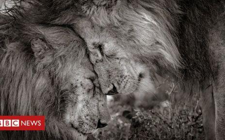 105618092 winner david lloydwildlifephotographeroftheyear - Kings of the jungle on top in photo award
