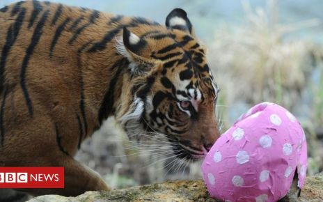 105637750 052180096 1 - Tiger deaths: Charity calls for zoo regulation reform