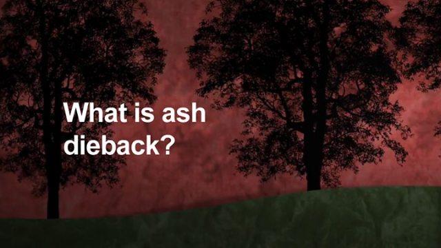 Chalara dieback ash tree fungus spreading 039more quickly039 - Ash dieback: Killer tree disease set to cost UK £15bn