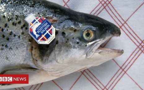 102872385 gettyimages 167076248 - Sea lice blamed for major fall in salmon tonnage