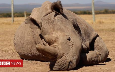 105858661 p072c8cg - Northern white rhinos: could science save the sub-species?