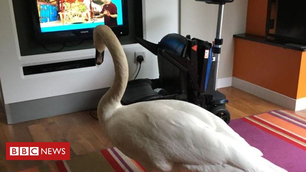 105880533 swan centreparcs - Swan watches CBeebies in Sherwood Center Parcs lodge