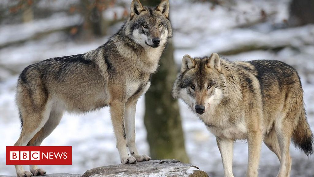 106019581 gettyimages 158275320 - Study reveals the wolf within your pet dog