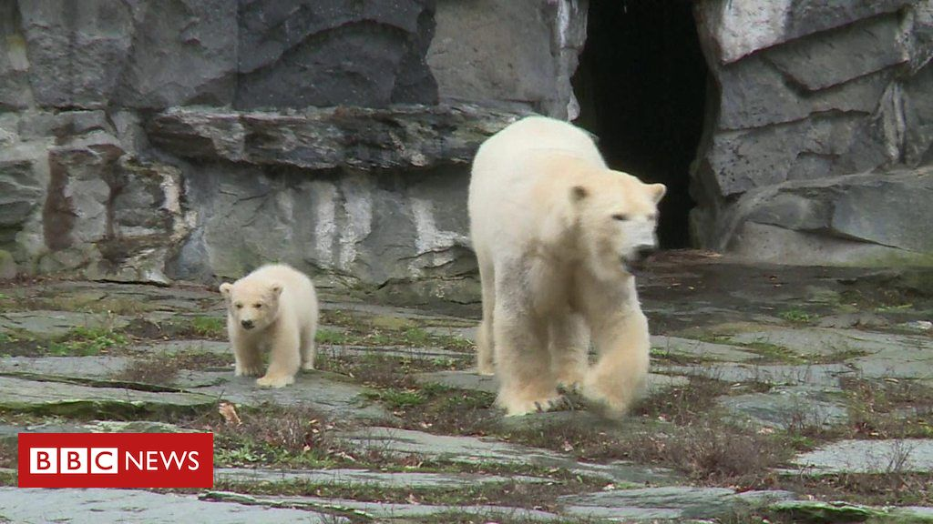 106041450 p073nw1k - Baby polar bear takes first steps at Berlin zoo