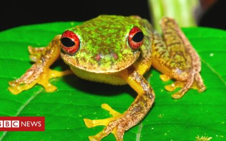 106211566 scheele2hr - Killer frog disease 'part of Earth's sixth mass extinction'