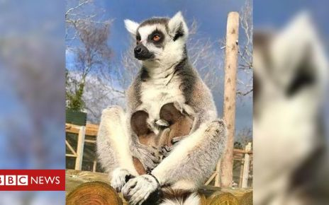 106315875 lemurmain - Endangered lemur twins born at Isle of Man wildlife park