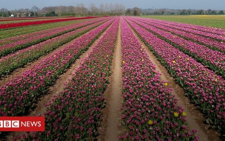 106471153 p076npbc - Tulips from the air: Artist drawn to beauty of Norfolk flowers