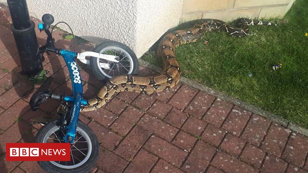 106561245 snakepic - Dad's shock after children find boa constrictor in garden