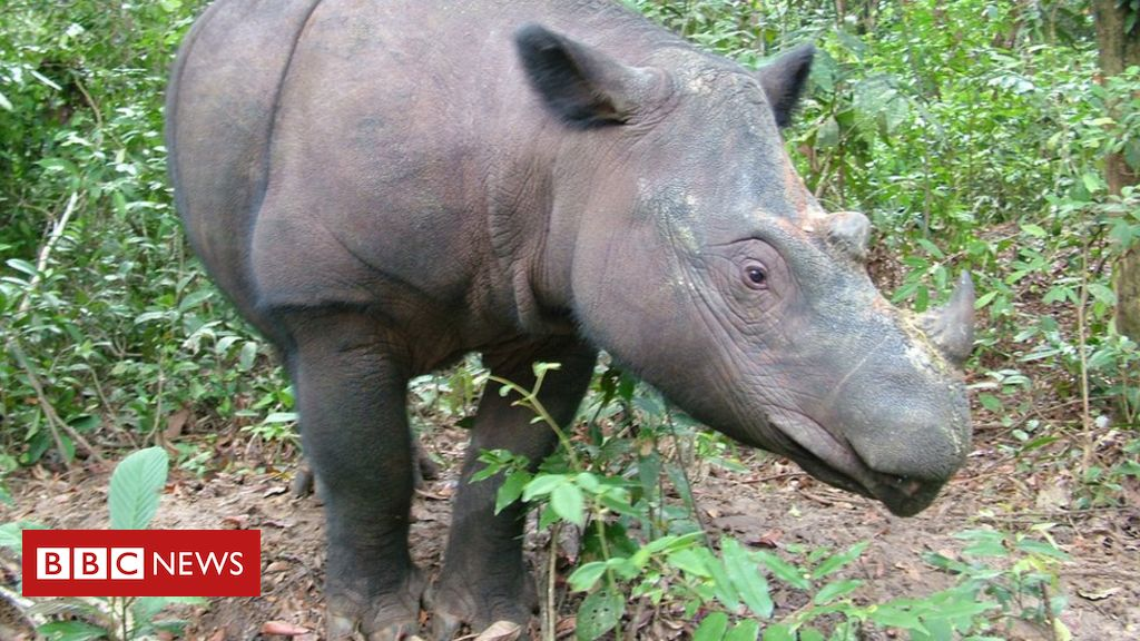107135341 72rosatotheright - Last male Sumatran rhino in Malaysia dies