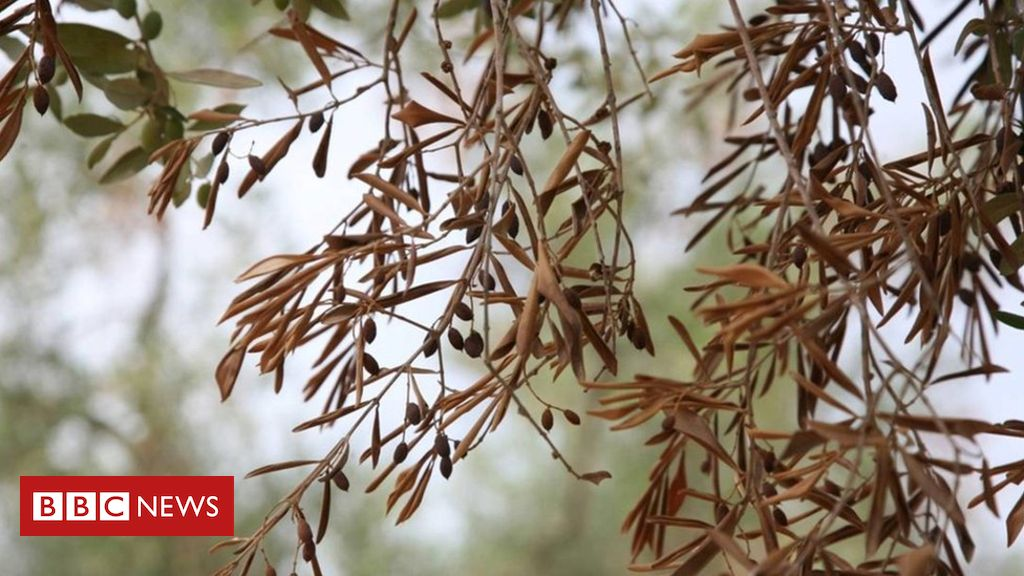 86677053 86677052 - Olive tree killer disease still poses risk to Europe