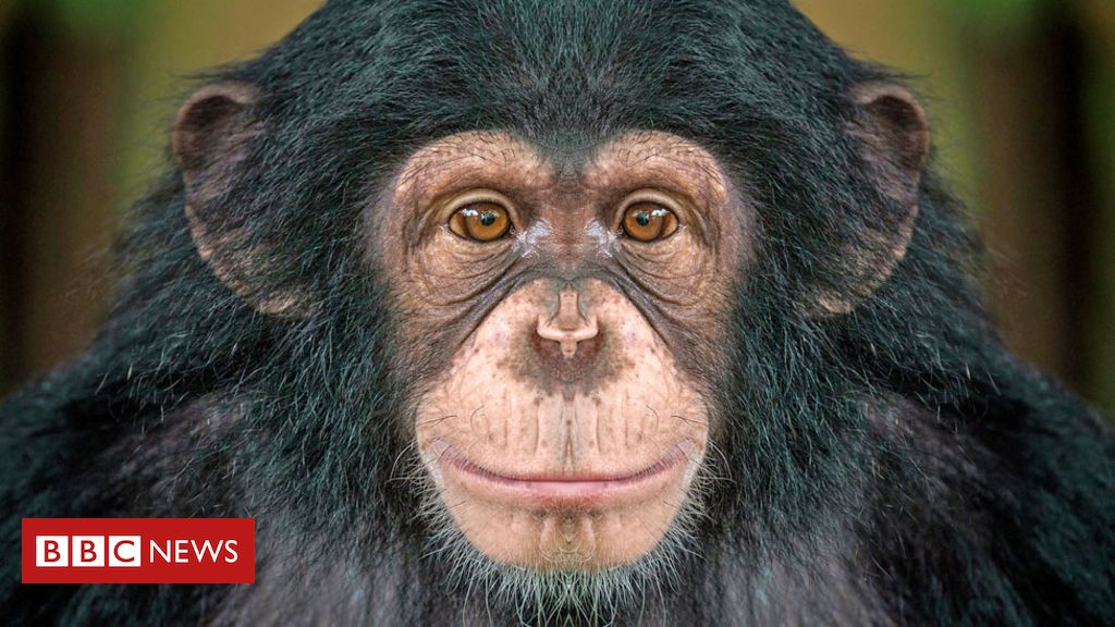 107899600 chimp1 - Chimps bond after watching movies together