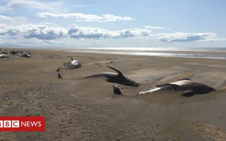 107946761 img 3261 - Iceland pilot whales: Dozens of dead mammals found beached