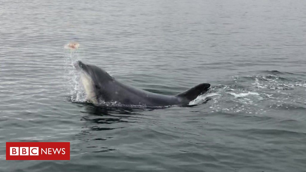 108269751 p07k9pfg - Dolphin spotted juggling with jellyfish in Denmark