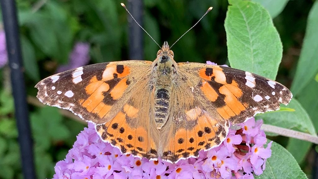 p07jmwcc - Big Butterfly Count: Fine weather boosts species in UK