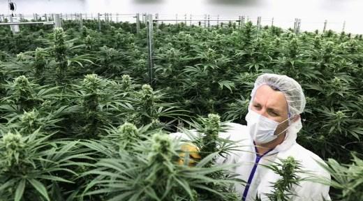 Страны мира, где легализовано выращивание или употребление марихуаны