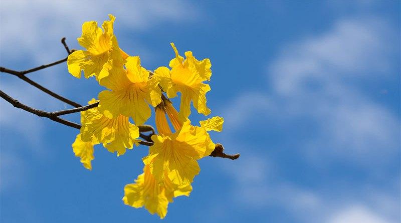 Florada do ipê emociona e encanta