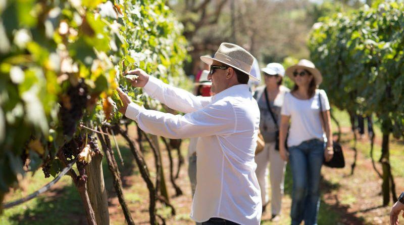 """Festa da """"Colheita das Uvas"""" será realizada nos dias 19 e 26 de janeiro"""