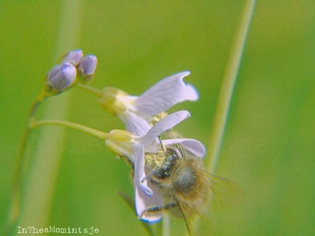 Bijen genieten ook met volle teugen van het boorjaar