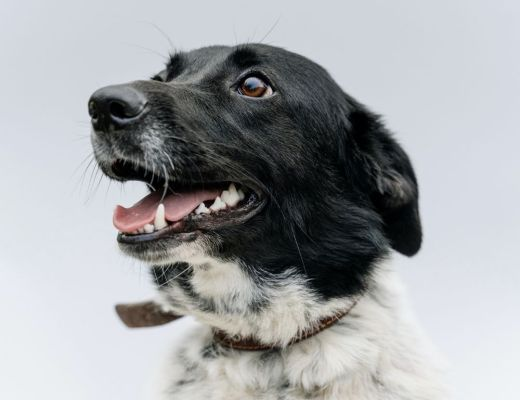 Black and white dog looking to the side