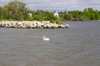 Pelikane auf Hecla Island
