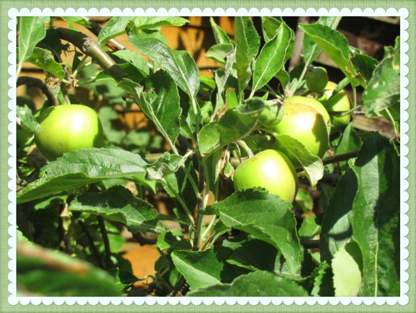 apple tree summer garden fun