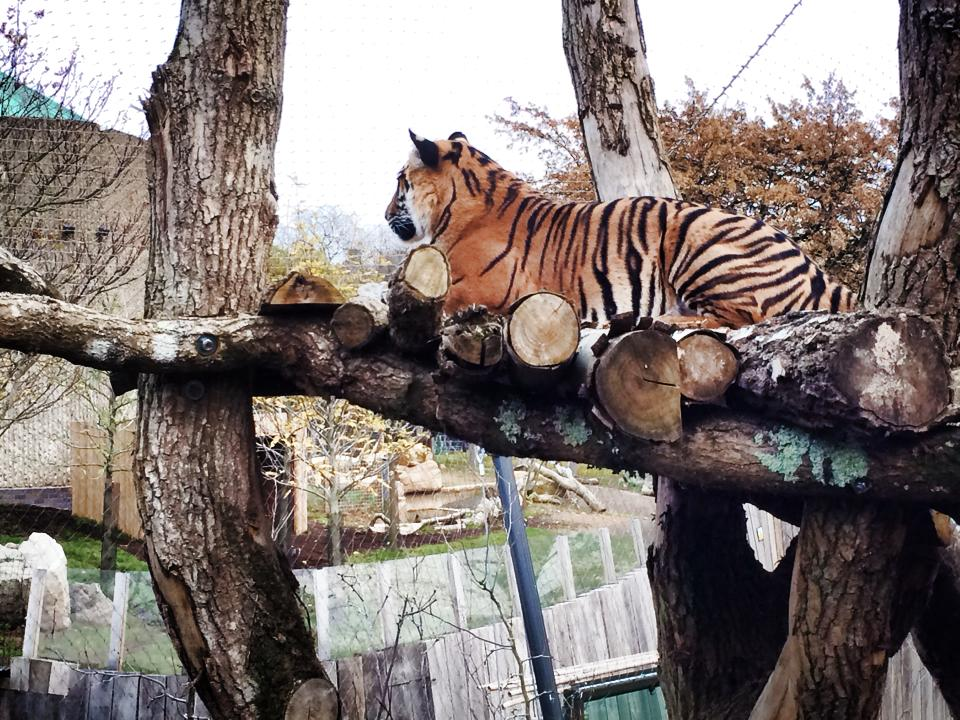 tiger at london zoo