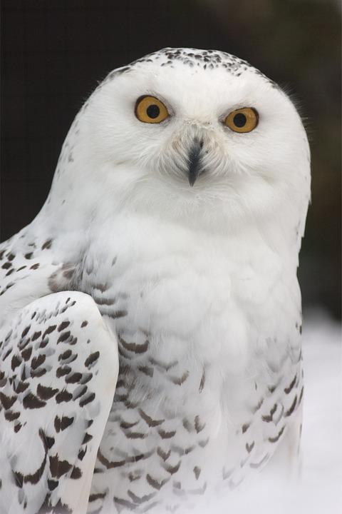snowy-owl-731203_960_720