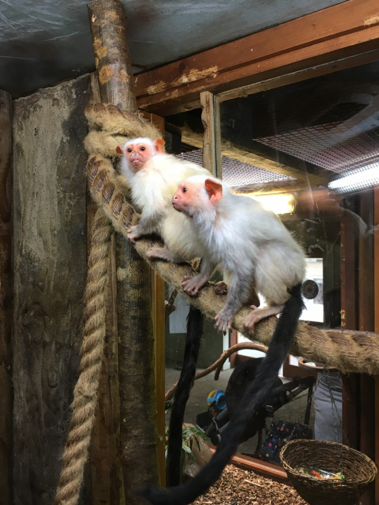 monkeys at drusillas