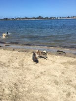 dogs_beach_play