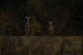 TD_Deer2