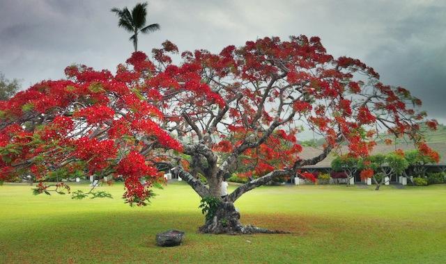 Royal Poinciana Tree in Hana, Maui