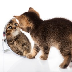 Kitten looking in the mirror
