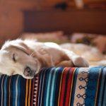 yellow lab dog sleeping on a southwestern blanket