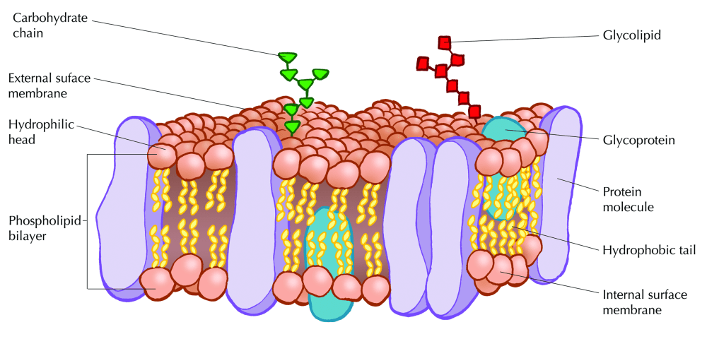 medium resolution of figure 2 12 fluid mosaic model of the cell membrane