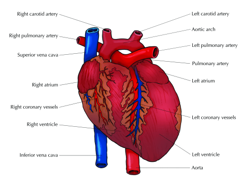 small resolution of figure 7 5 the external structure of the heart the major part of the heart consists of muscles and is known as the myocardium