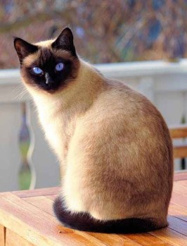 Picture of siamese cat with blue eyes